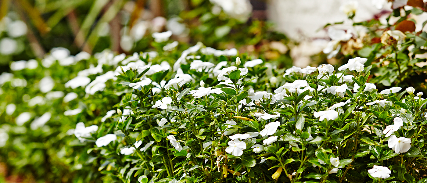 Kensignton Delicate White Flowers6 Growing Rooms Landscapes For