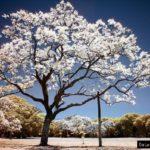 jacaranda-white-grafted-3487
